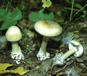 Как отличить ложные грибы